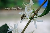 10.05.31 咖啡花上的蜜蜂:IMG_7370.JPG