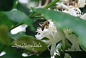 10.05.31 咖啡花上的蜜蜂:IMG_7382.JPG