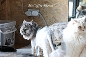 D17清邁 3貓咖啡 Catmosphere Cat Café:IMG_3320.JPG