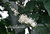 10.05.31 咖啡花上的蜜蜂:IMG_7389.JPG