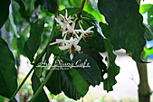 10.05.31 咖啡花上的蜜蜂:IMG_7452.JPG