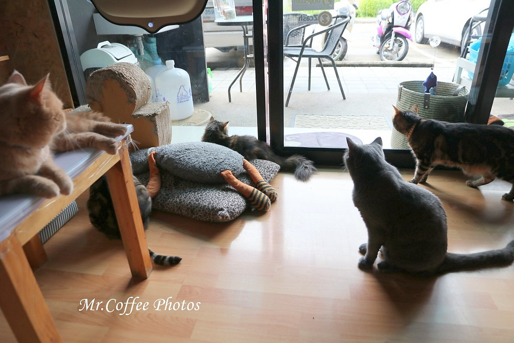 IMG_3266.JPG - D17清邁 3貓咖啡 Catmosphere Cat Café