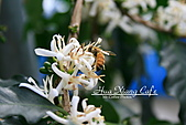 10.05.31 咖啡花上的蜜蜂:IMG_7473.JPG