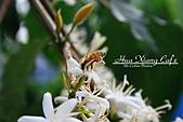 10.05.31 咖啡花上的蜜蜂:IMG_7486.JPG