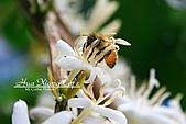10.05.31 咖啡花上的蜜蜂:IMG_7488.JPG