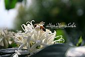 10.05.31 咖啡花上的蜜蜂:曙光