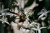 10.05.31 咖啡花上的蜜蜂:IMG_7526.JPG