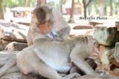 D14暹粒 5塔布隆寺-樹中廟、猴子與咖啡:IMG_2096.JPG