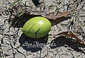 09.10.29【宜蘭】《親水公園》:這就是海檬果