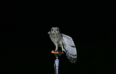 短耳鴞 Short-eared Owl:A23P3651.jpg