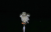 短耳鴞 Short-eared Owl:A23P3930.jpg