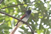 亞洲綬帶 Asian Paradise-flycatcher:IMG_2605.JPG