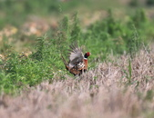 2014 環頸雉 Common Pheasant:A23P2859.jpg