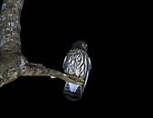 褐鷹鴞 Brown Hawk Owl :IMG_1127.JPG