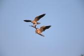 黑翅鳶 Black shouldered kite:A23P0854.JPG
