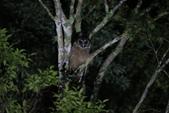 褐林鴞 Brown Wood Owl:A23P7877.JPG