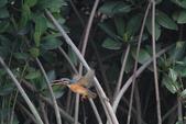翠鳥 Common Kingfisher:IMG_4980.JPG