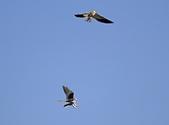 黑翅鳶 Black shouldered kite:IMG_9895.jpg