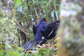 黑長尾雉 Mikado Pheasant:A23P0528.JPG