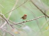 枌紅鸚嘴 Vinous-throated Parrotbill:A23P6371.jpg