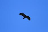 林鵰 Indian Black Eagle:IMG_1215.JPG
