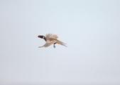 2014 環頸雉 Common Pheasant:A23P3027.jpg