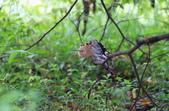 戴勝 Common Hoopoe:A23P5588.jpg