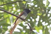 亞洲綬帶 Asian Paradise-flycatcher:IMG_2628.JPG