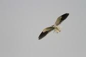 黑翅鳶 Black shouldered kite:IMG_3843.JPG