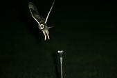 短耳鴞 Short-eared Owl:A23P8621.JPG