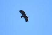 林鵰 Indian Black Eagle:IMG_1218.JPG