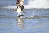 魚鷹 Osprey 捕魚:IMG_0890.JPG