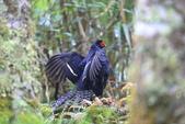 黑長尾雉 Mikado Pheasant:A23P0529.JPG
