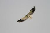 黑翅鳶 Black shouldered kite:IMG_3844.JPG