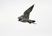 遊隼 Peregrine Falcon:IMG_6352.jpg