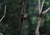 大翅啄木 White-backed Woodpecker:A23P8617.jpg