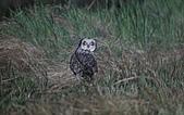 短耳鴞 Short-eared Owl:A23P2628.jpg