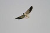 黑翅鳶 Black shouldered kite:IMG_3845.JPG