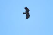 林鵰 Indian Black Eagle:IMG_1221.JPG