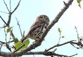 鵂鶹Collared owlet:IMG_2845.jpg