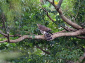 灰面鵟鷹 Grey-faced Buzzard:A23P0332.jpg