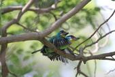 五色鳥交尾:IMG_5285.JPG