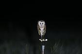 草鴞Grass Owl:A23P0391.jpg