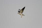 黑翅鳶 Black shouldered kite:IMG_3846.JPG