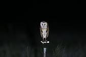 草鴞Grass Owl:A23P0400.jpg