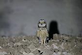 短耳鴞 Short-eared Owl:A23P4858.jpg