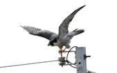 遊隼 Peregrine Falcon:IMG_8643.jpg