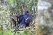黑長尾雉 Mikado Pheasant:A23P0530.JPG
