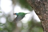 五色鳥:IMG_1656.JPG
