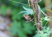 枌紅鸚嘴 Vinous-throated Parrotbill:A23P5967.jpg